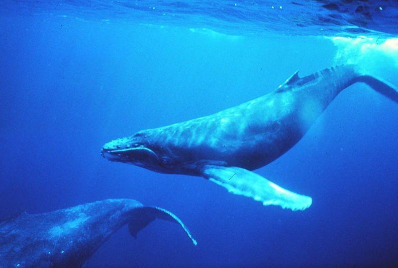 Oceani troppo rumorosi disturbano le balene