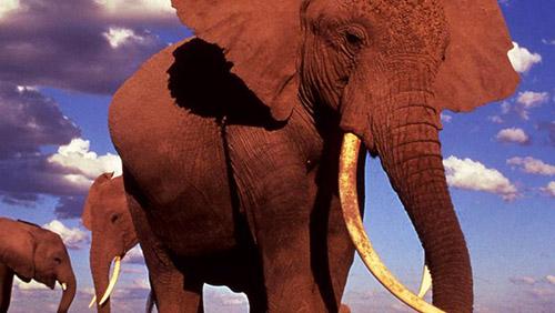 Mozambico: lotta ai bracconieri, uccisi 900 elefanti africani in tre anni